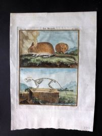 Buffon 1766 Antique Hand Col Print. Wood Mouse & Skeleton 7-46